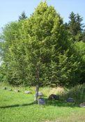 Freiheitsbaum